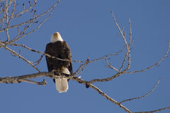 Eagle's Perch. Bald Eagle perched in a birch tree stock photography