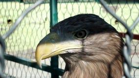 Eagle. In Safari Park of Gelendzhik stock video