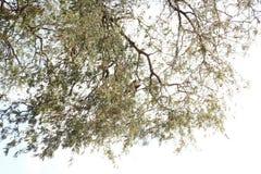 Eagle sammanträde på tamarindfruktträd Arkivfoto