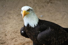 Eagle on the sandy ground Royalty Free Stock Photo