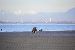 Eagle Scavenging voor Tweekleppige schelpdieren Stock Foto