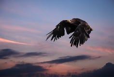 Eagle schwärzen Fliegenprofil am blauen und rosa Himmel nach Sonnenuntergang Stockfotos