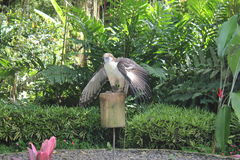 Eagle Scout Binay. A Philippine eagle named after a scout master who was a former vice president Stock Image