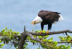Eagle Screaming calvo, Columbia Britannica, Canada immagini stock