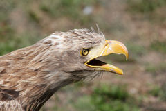 Eagle screaming portrait Royalty Free Stock Image