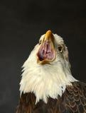 Eagle Screeching chauve Images libres de droits