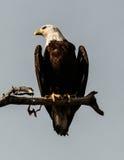 Eagle Sentinel calvo Imágenes de archivo libres de regalías