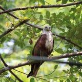 Eagle Sharp et alerte image libre de droits