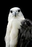 Eagle Royalty Free Stock Photos