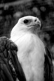 Eagle. With sharp eyes looking far Stock Photo