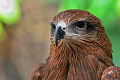 Eagle. An eagle with sharp looking eyes stock image
