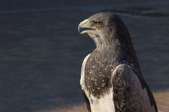 Eagle shielded. Shielded eagle in outdoor exposure Stock Image