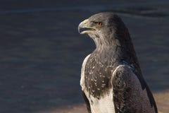 Eagle shielded Stock Image