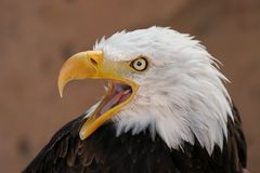 Eagle shout Royalty Free Stock Photos