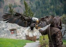 Eagle Show au château Hohenwerfen aux alpes autrichiennes photos stock