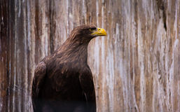 Eagle Side View Stock Photography