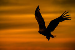 Eagle Silhouette. A male White-tailed Eagle in silhouette against the sunset sky, flies back to the nest with a final catch of the day to feed his growing chicks Stock Images