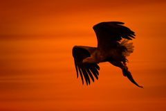 Eagle Silhouette. A male White-tailed Eagle in silhouette against the sunset sky, flies back to the nest with a final catch of the day to feed his growing chicks Stock Photo