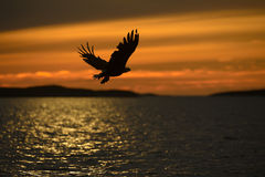 Eagle Silhouette. A White-tailed Eagle in silhouette against the sunset sky, flies back to the nest with a final catch of the day to feed her growing chicks with Stock Photography