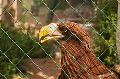 Eagle, sits behind a lattice Royalty Free Stock Photography