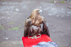 The eagle sits in captivity. Bird of prey on a leash Royalty Free Stock Photo