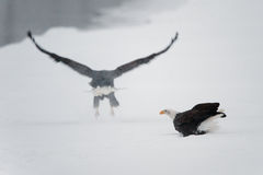 The eagle sits on snow on the frozen river, Stock Photos