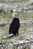 Eagle Sitting Fotografia Stock