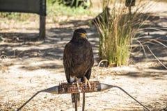 Eagle sitting alone in safari park, Portugal Stock Images