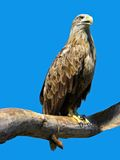 Eagle sitting on a branch Stock Photo