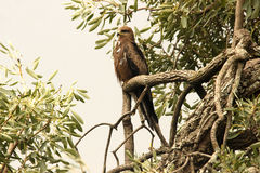 Eagle sitting on branch Royalty Free Stock Image