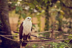 Eagle sitting on a branch Royalty Free Stock Images