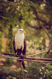 Eagle sitting on a branch Stock Image