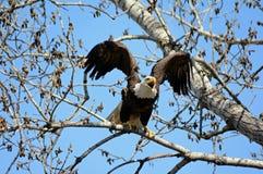 Eagle Sitting On Branch calvo animado Fotos de Stock
