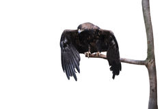 Eagle sitting on a branch Royalty Free Stock Photography