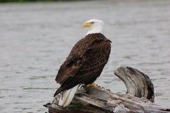 Eagle Sitting calvo en registro Imagen de archivo