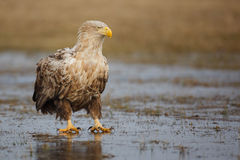 Eagle sitting on ice Stock Images