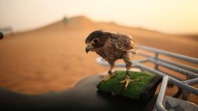 Eagle Sitting Langzame Motie Woestijn in Abu Dhabi, Verenigde Arabische Emiraten Stock Afbeelding
