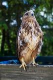 Eagle Sitting Quietly impavido fotografie stock libere da diritti