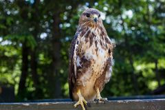 Eagle Sitting Quietly impavido immagine stock libera da diritti