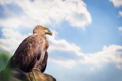 Eagle sitting on rock stock images
