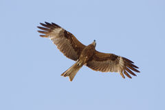 Eagle in the sky Royalty Free Stock Images