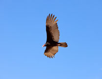 Eagle in the sky Royalty Free Stock Photos