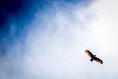 Eagle in the sky. An eagle flying freely in the sky stock image