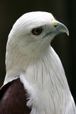 Eagle from Slightly Above. Side and above shot of White Bellied Sea Eagle taken in the Philippines.  This bird is found throughout Southeast Asia Royalty Free Stock Image