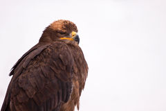 Eagle on the snow Royalty Free Stock Image