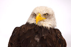 Eagle on the snow Royalty Free Stock Photos