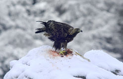 Eagle in the snow Royalty Free Stock Image