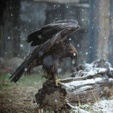 Eagle in the snow Royalty Free Stock Images