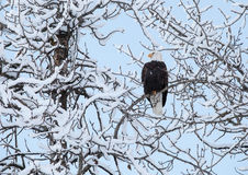 Eagle with snow covered branches Stock Photography