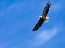 Eagle soaring in blue sky Stock Photo